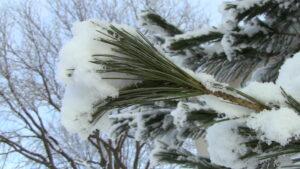 Snow on Pine Needles